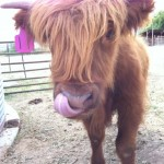 Highland Cattle Steer