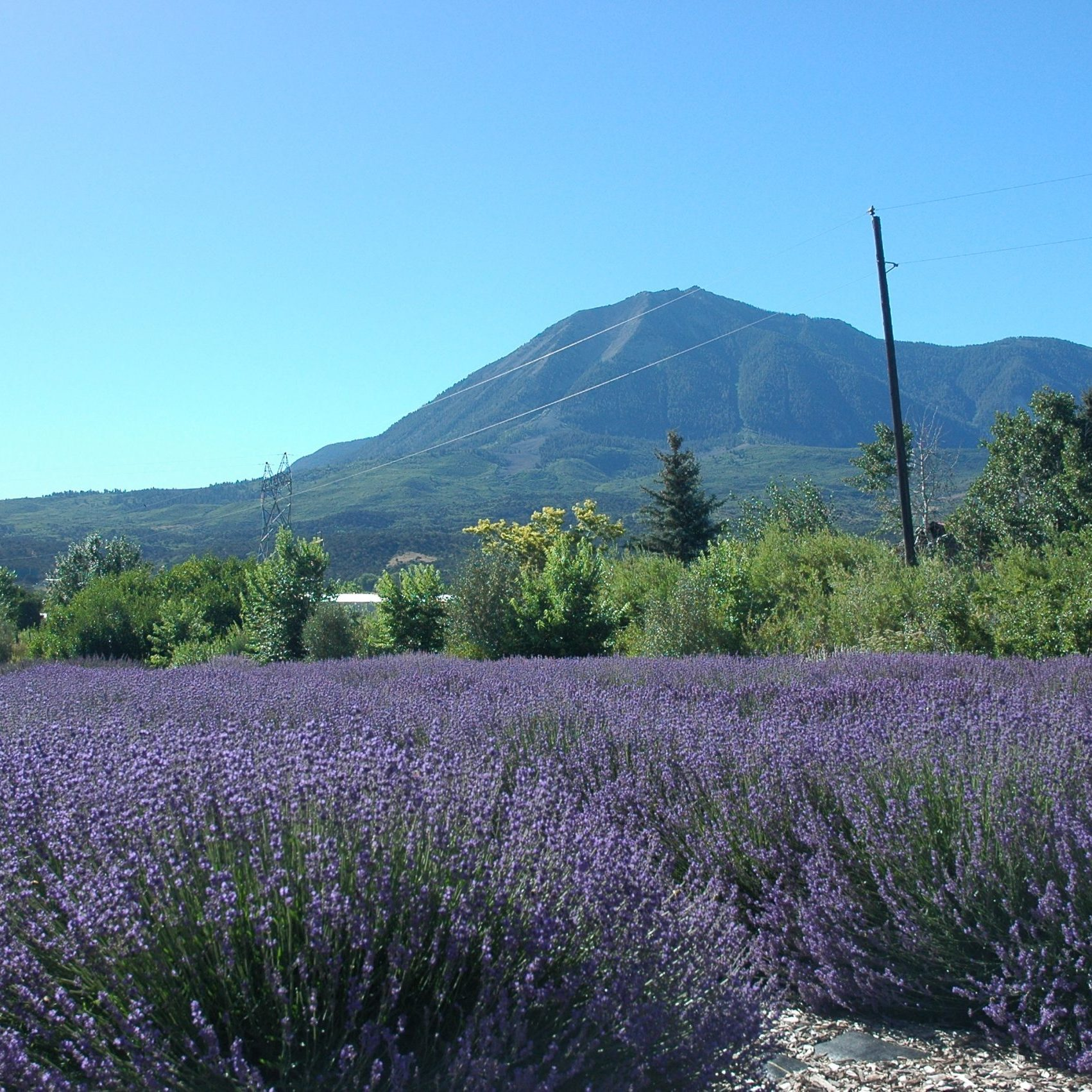 lavender with mt lamborn in the background